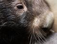 Wombat-Weibchen mit Jungem
