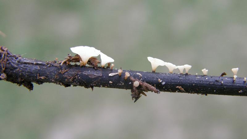 Schuld am Eschensterben hat ein Pilz: das Falsche Weiße Stängelbecherchen