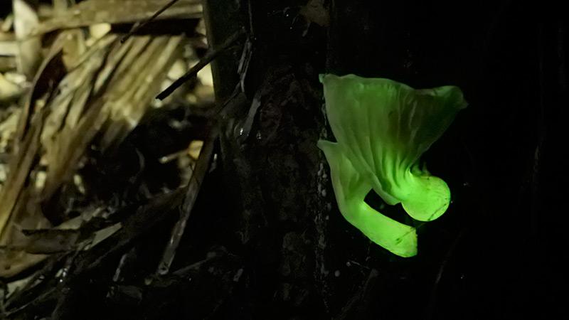 Neonothopanus nambi wächst am Fuß einer Palme