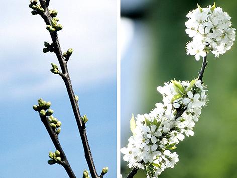 Barbarazweige vor und mit Blüte