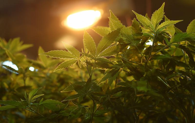 Cannabis-Zucht