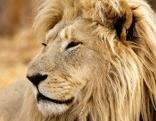 Lionsrock heimkehr des königs