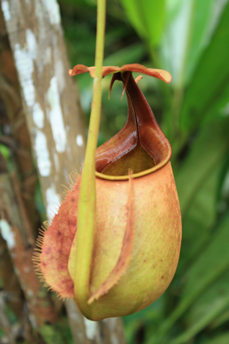 Fleischfressende Pflanze