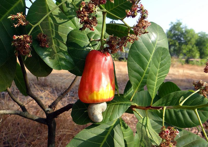 Cashew-Nussbaum