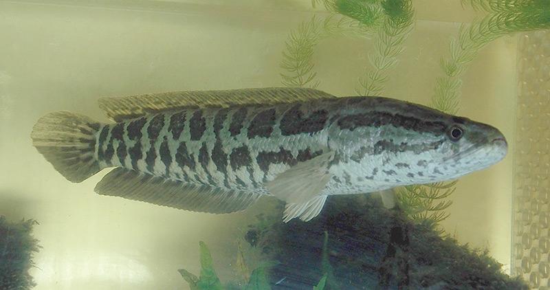 Nördlicher Schlangenkopffisch im Aquarium