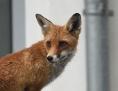 Fuchs in Wien auf einem Vordach