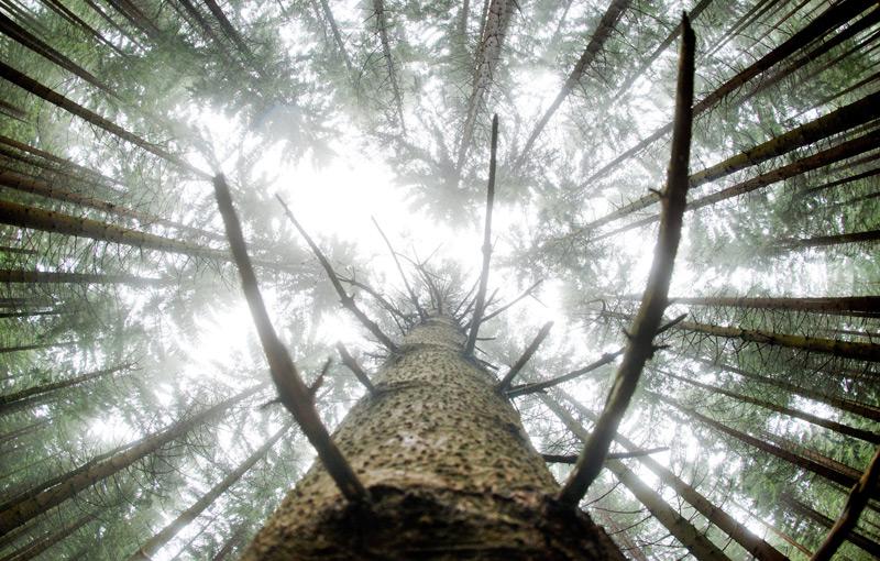 Blick nach oben im Fichtenwald