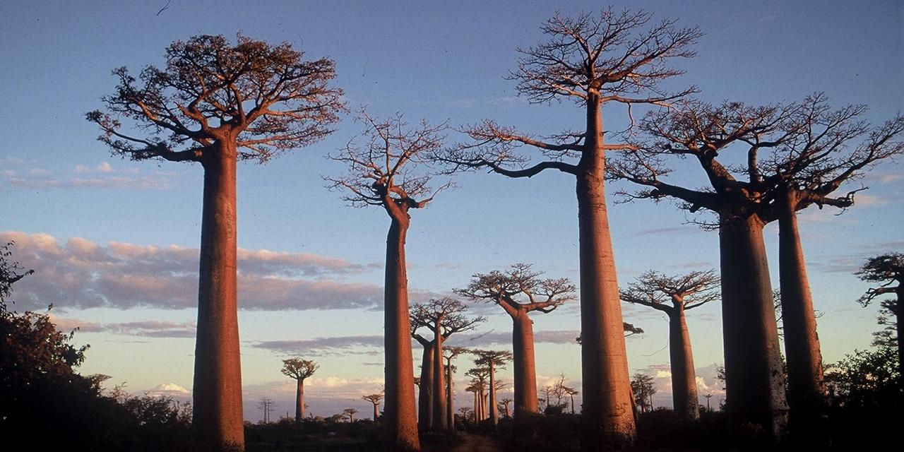 Affenbrotbaum Allee in Madagaskar