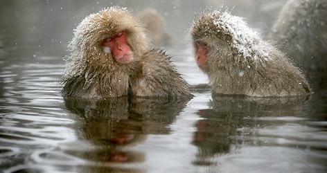 Makaken in Thermalwasser