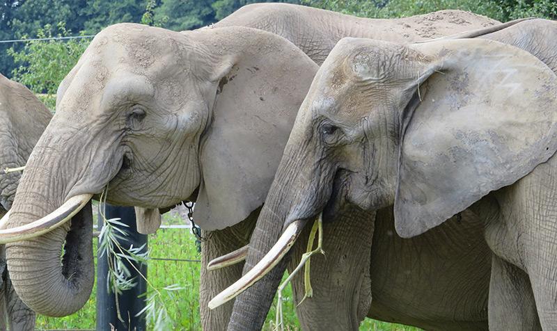 Zwei Elefanten beim Fressen im Zoo