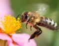 Eine Biene sammelt den Nektar von einem rosafarbenen Sonnenröschen