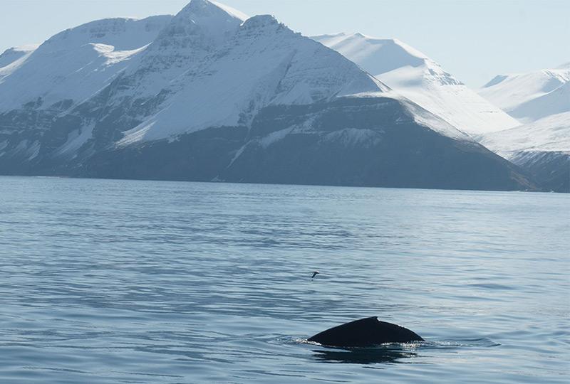 Ändern Buckelwale ihre Fortpflanzung?