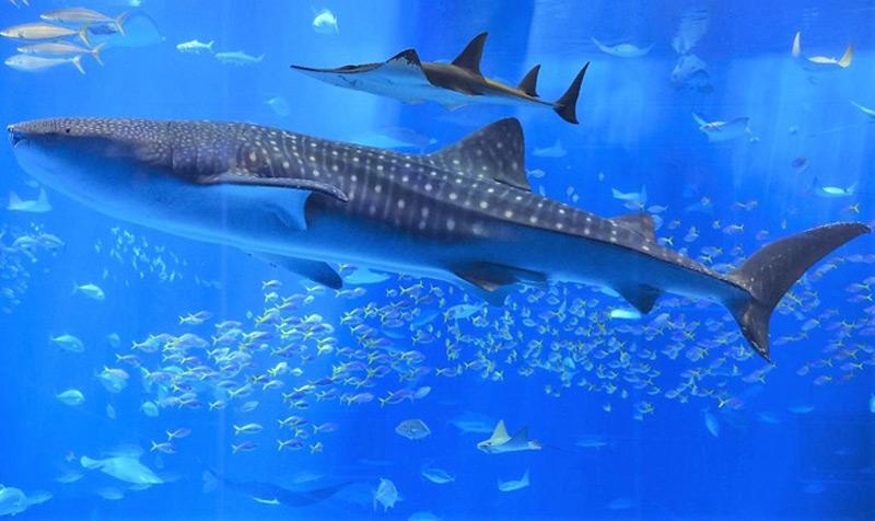 Walhai im Okinawa Churaumi Aquarium