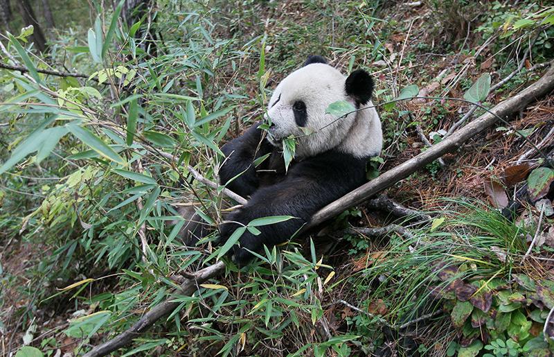 Seit Wann Pandas Nur Bambus Fressen Science Orf At