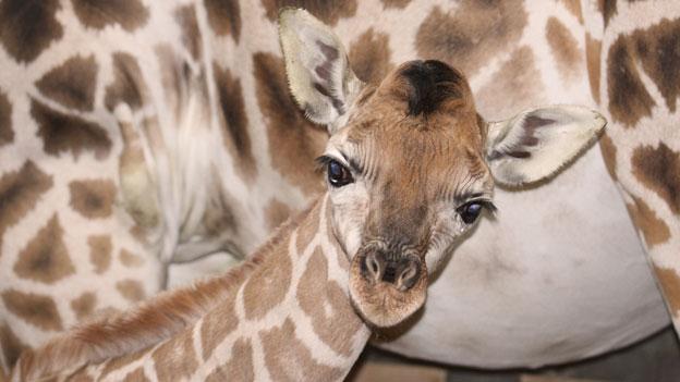 Giraffenbaby Zoo Schmiding