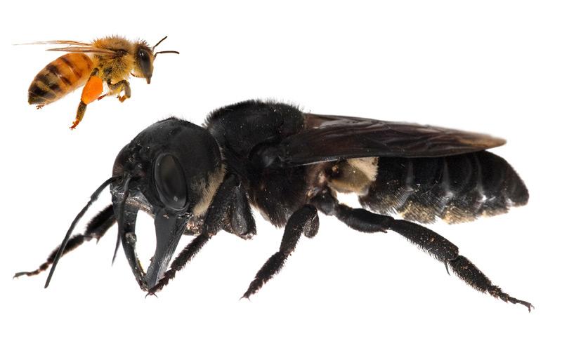 Riesenbiene nach 38 Jahren wiederentdeckt