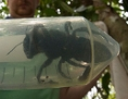 Gefangene Riesenbiene