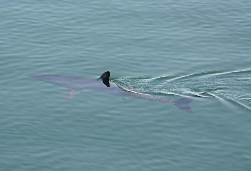 Makohai unter Wasser