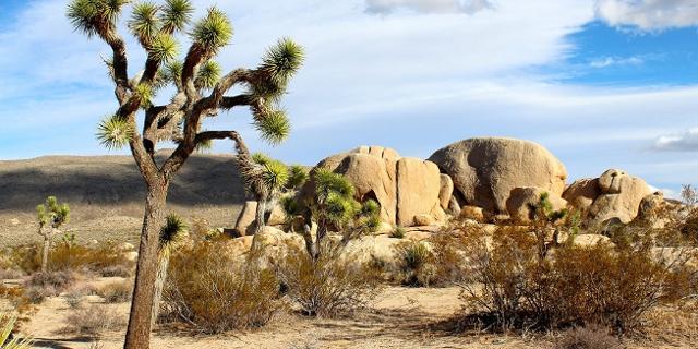 Wüste mit Josua Baum
