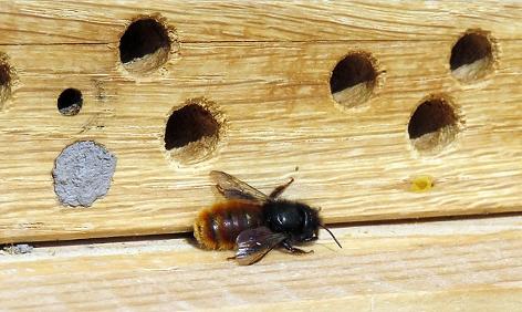Eine Mauerbiene vor einer Nisthilfe