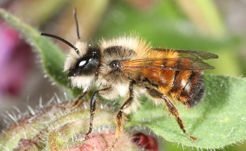 Rote Mauerbiene - Insekt des Jahres 2019