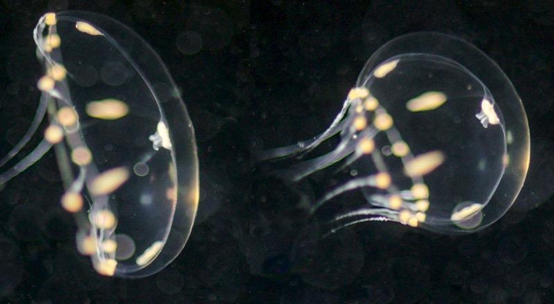 Clytia hemisphaerica Medusen
