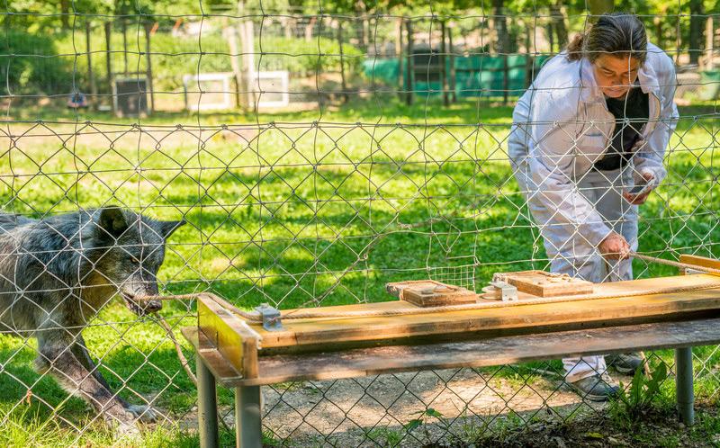 Experiment: Forscherin und Wolf bewältigen eine Aufgabe