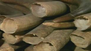 Elenfantenstoßzähne aus Elfenbein