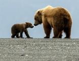 Alaskas wilde Wälder: Das Reich der Grizzlys