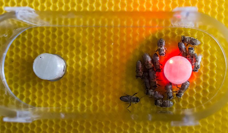 Miniroboter interagiert mit Bienen