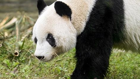 Panda-Männchen Yuan Yuan