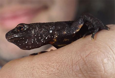 Salamander können kauen – science.ORF.at
