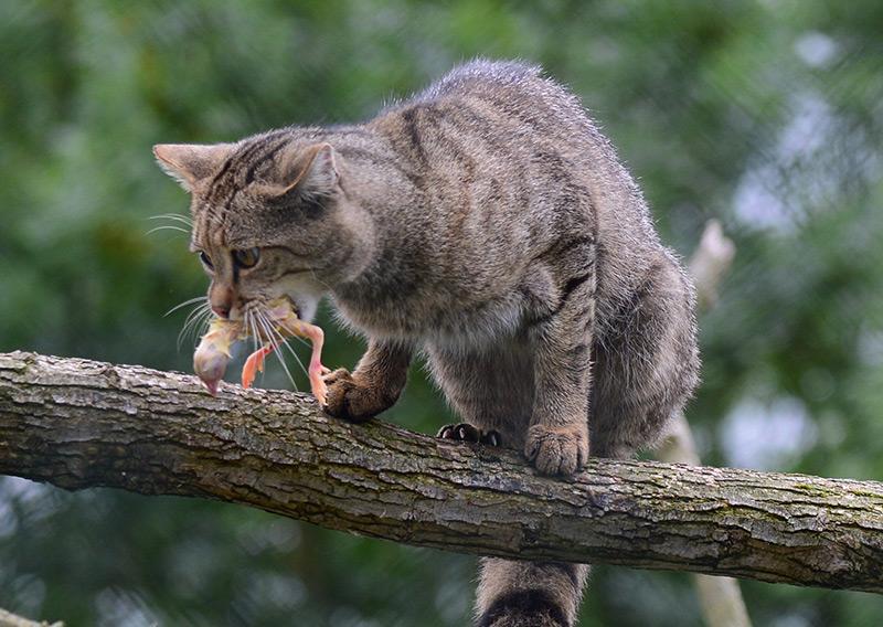 Wildkatze mit Kücken im Maul
