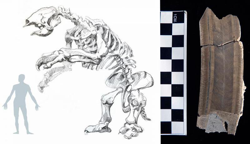Links: Größenvergleich Riesenfaultier-Mensch; rechts: der Aufbau des Zahns
