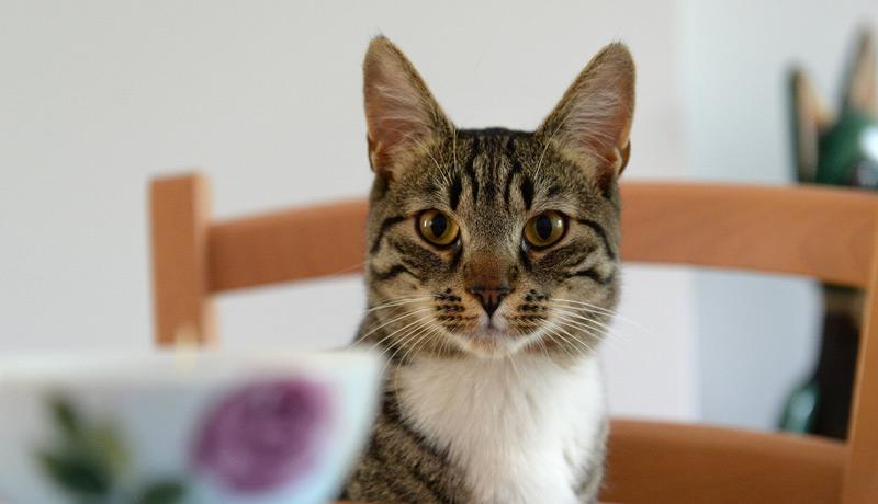 Katze in Katzencafé