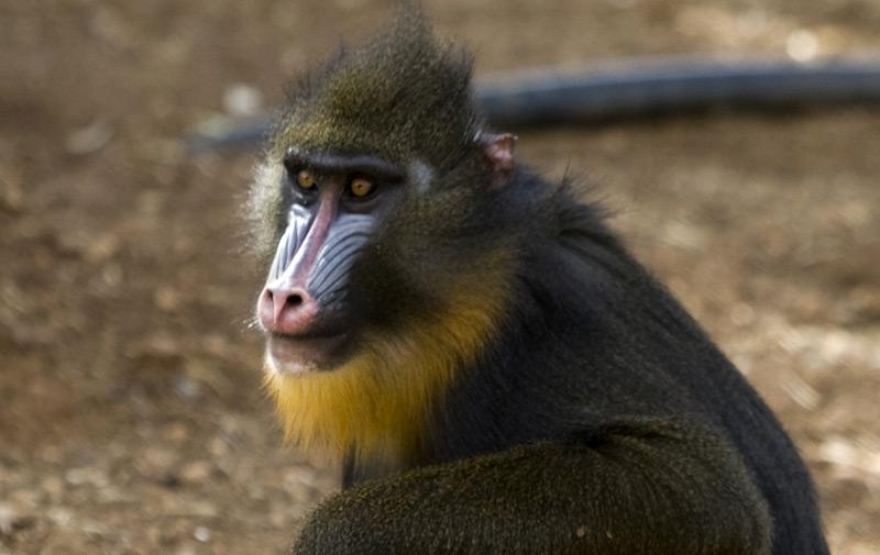 Mandrill im Zoo
