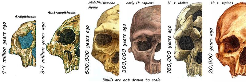 Schädelknochen von Ardipithecus bis Homo sapiens im Vergleich