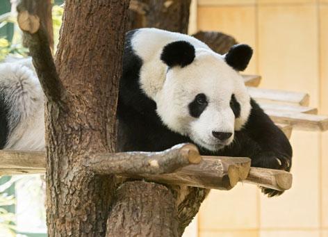 Panda im Tiergarten Schönbrunn