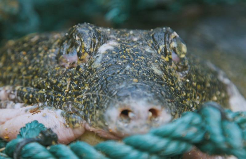 Die verstorbene Schildkröte Jangtse-Riesenweichschildkröte