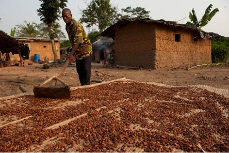 Mann bei der Kakaoernte