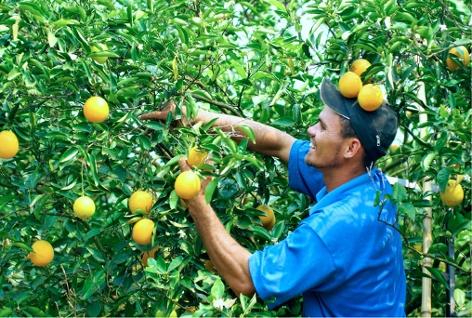 Arbeiter beim Orangenpflücken