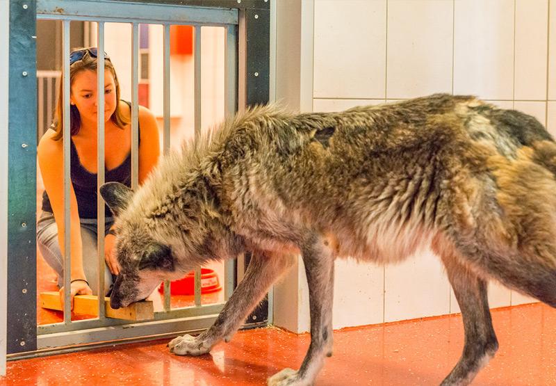 Ein Wolf erhält ein Leckerli