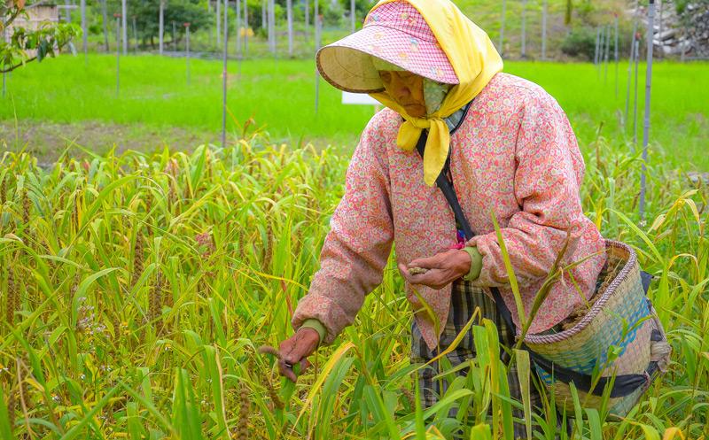 Kolbenhirse wird heute noch angebaut, z.B. hier in Taiwan