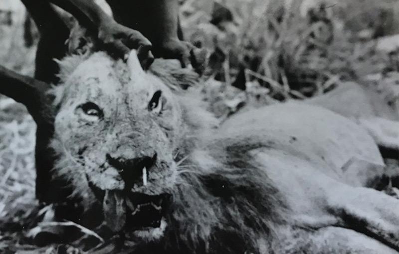 1965 getöteter Löwe, der zum Menschenfresser wurde, nachdem er eine Verletzung durch ein Stachelschwein erlitten hatte (weißer Stachel in der Nase)