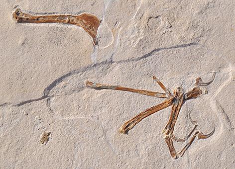 Die Abbildung zeigt einen Flügel von Alcmonavis poeschli, wie er in den Plattenkalkablagerungen gefunden wurde.