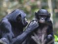 Bonobo-Mutter mit Sohn im Kokolopori Bonobo Reservat