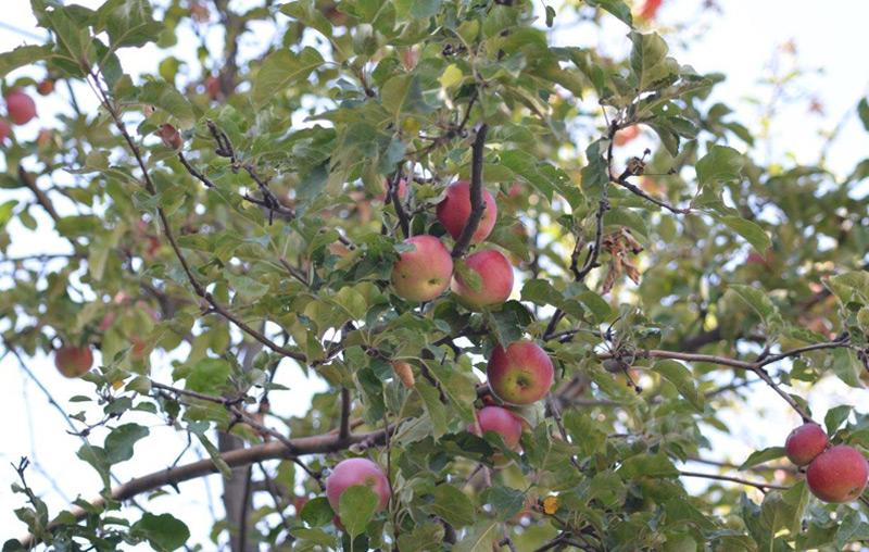 Asiatische Wildäpfel im Tien Shan-Gebirge in Kasachstan