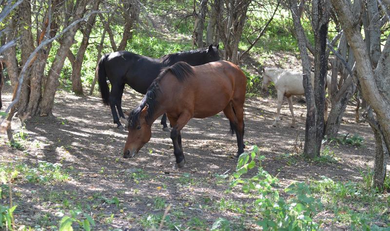 Pferd in Kasachstan, die asiatische Wildäpfel essen