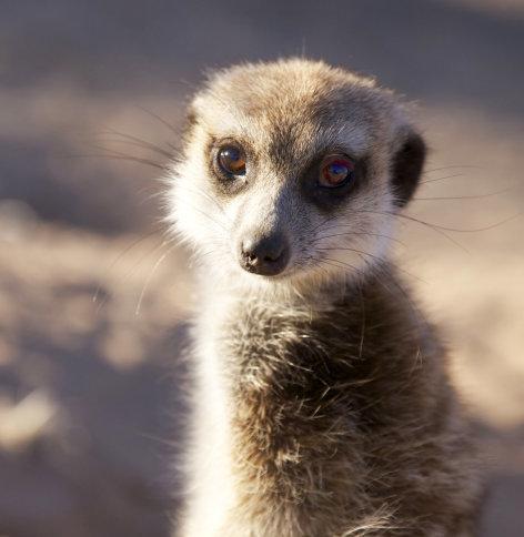 Showmaster aus der Wüste - Namibias Erdmännchen    Originaltitel: Meerkats - The Secrets of an Animal Superstar (Natural World) 2013, Regie: Virginia Quinn