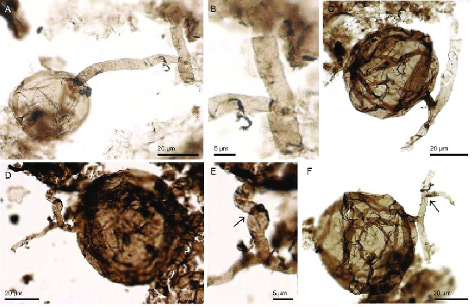 Fossile Pilzzellen unter dem Mikroskop